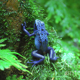 Blue Poison Arrow Frog on a Wet Log