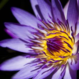 Sharon Mau - Blue Star Water Lily