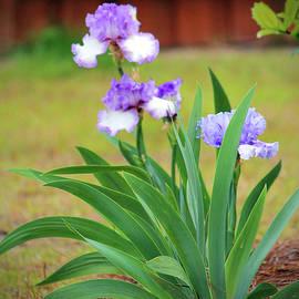 Cynthia Guinn - Blue Violet Irises