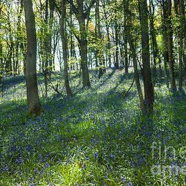 Ann Garrett - Bluebell Wood