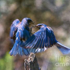 Mike Dawson - Bluebird Battle