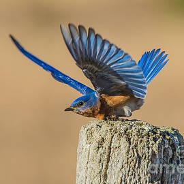 Cheryl Baxter - Bluebird Bow