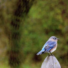 Ericamaxine Price - Bluebird-Female