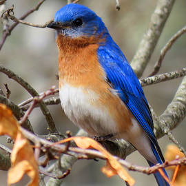 Dianne Cowen - Bluebird Magic