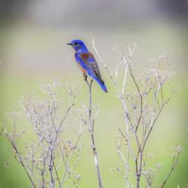 Mitch Shindelbower - Bluebird On Hemlock