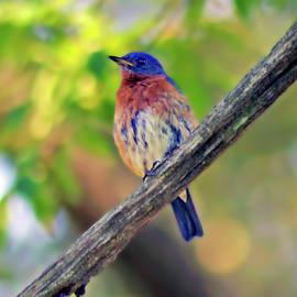 Bluebird Resting