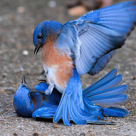 WildBird Photographs - Bluebirds Fighting 011020164378