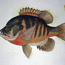 Don Seago - BlueGill Perch