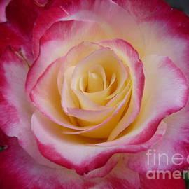 Lingfai Leung - Blushing Rose