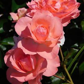 Catherine Gagne - Blushing Roses