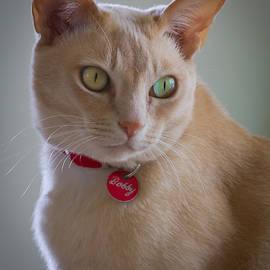 Jenny Setchell - Bobby the Burmese cat