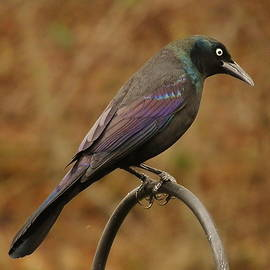 Earl Williams Jr  - Bold Common Grackle