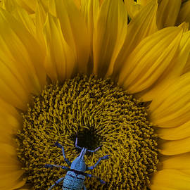 Boll Weevil On Sunflower - Garry Gay