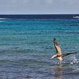 Jennifer Ansier - Bonaire Pelican