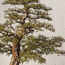 Gene Healy - Bonsai tree