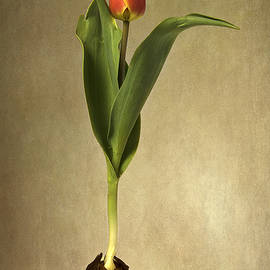 Robert Murray - Botanical Tulip