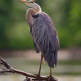 Spencer Bush - Branch Manager- Great Blue Heron - Ardea Herodias