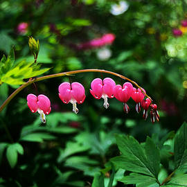 Kae Cheatham - Branch of Bleeding Heart Blooms
