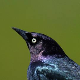 Michael Riley - Brewers Blackbird
