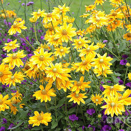 Carol Groenen - Bright Yellow and Purple Flowers
