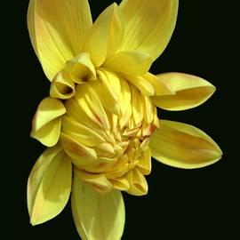 DUG Harpster - Bright Yellow Dahlia