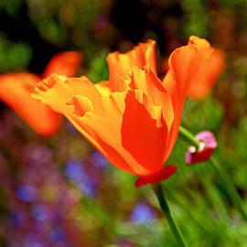 Rona Black - Brilliant Spring Poppies