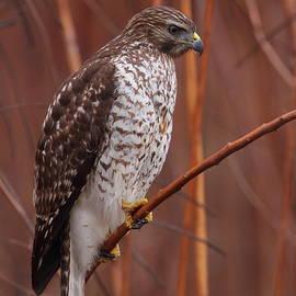 Bruce J Robinson - Broad-winged Hawk