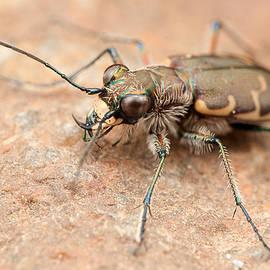Derek Thornton - Bronzed Tiger Beetle
