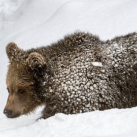 Arterra Picture Library - Brown Bear Cub in Winter