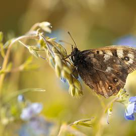 Jaroslaw Blaminsky - Brown butterfly on fresh blue flowers