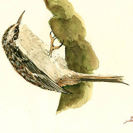 Brown creeper - Juan  Bosco