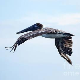 William Tasker - Brown Pelican Fly By