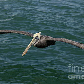 Anthony Totah - Brown Pelican- Pelecanus occidentalis