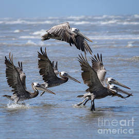 Debra Martz - Brown Pelicans Take Flight