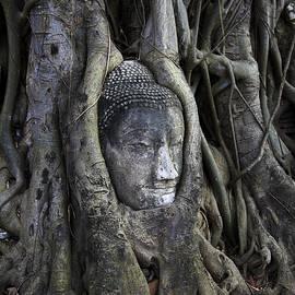 Adrian Evans - Buddha Head in Tree