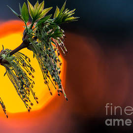 Cheryl Baxter - Budding Leaf with Sunset Bokeh