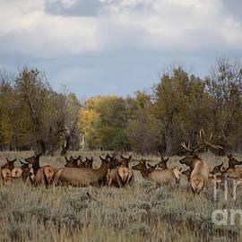 Sandy Molinaro - Bull Elk and Harem