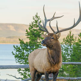 Bull Elk at Yellowstone - James Udall