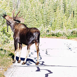 James BO  Insogna - Bull Moose Munching in The Road