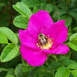 Joy Nichols - Bumble Bee On A Wild Rose