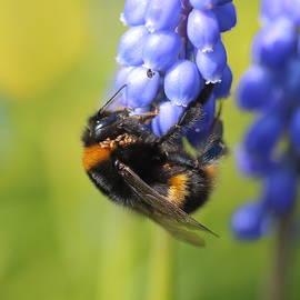 Rumyana Whitcher - Bumble Bee On Muscari