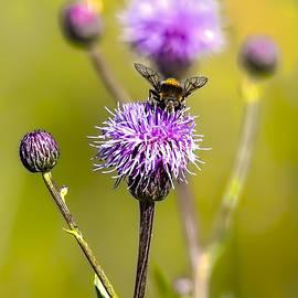 Leif Sohlman - Bumblebee Aug 2015