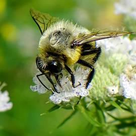 Lilia D - Bumblebee in garden