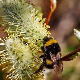 Jouko Lehto - Bumblebee on a Catkin