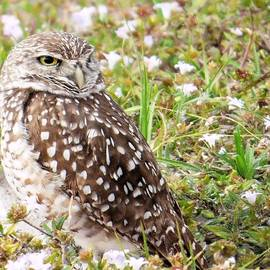 Rosalie Scanlon - Burrowing Owl in Nature