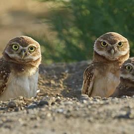 Doug Herr - Burrowing Owls