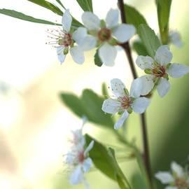 Aliceann Carlton - Bush Cherry Blossoms