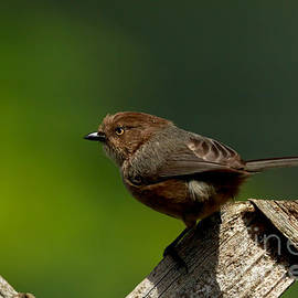 Beve Brown-Clark Photography - Bushtit