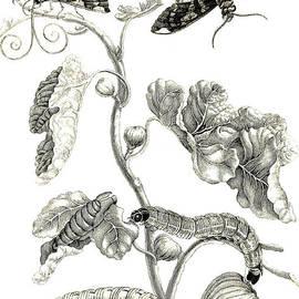 Butterflies, Caterpillars and Plant - Maria Sibylla Graff Merian