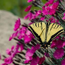 Carl Nielsen - Butterfly